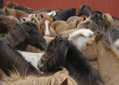 horse roundup3